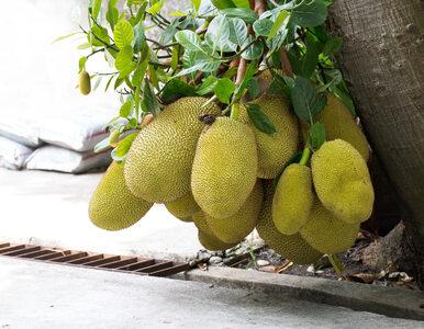 Owoc, który przypomina w smaku mięso. Idealne rozwiązanie dla wegetarian