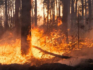 Ogromny pożar lasu na Mazowszu. Służby nie wykluczają, że doszło do...