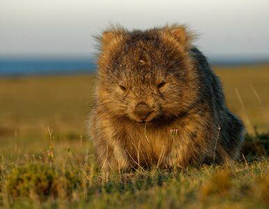 Dziś ich święto. Wombaty, to jedyne zwierzęta, które... robią sześcienne...