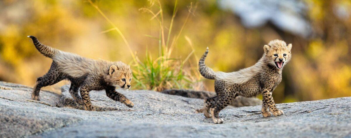 Małe gepardy
