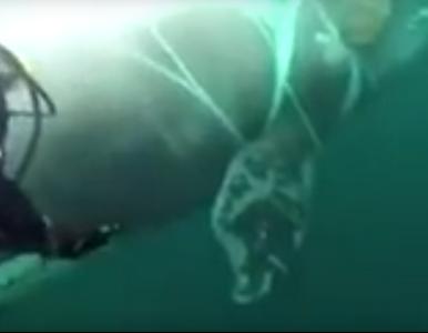 Orka zaplątała się w sieci rybackie. Pomógł jej nurek