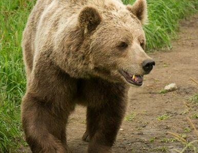 Niedźwiedź wszedł do sklepu po słodycze. Siedem razy (wideo)
