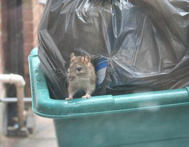 Wielka Brytania: szczury zmutowały - trutki im niestraszne