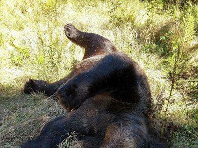 Martwa niedźwiedzica znaleziona w Tatrach. Potrącił ją samochód?