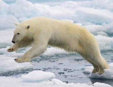 Tak żyją niedźwiedzie polarne. Unikatowe nagrania z kamer umocowanych na...