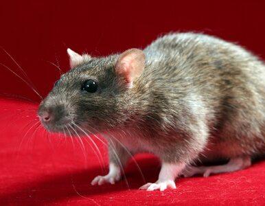 Szczury w przedszkolu, biegały po salach
