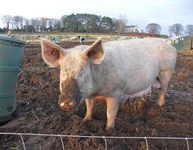 Unia Europejska nakazała zapewnić rozrywkę... świniom
