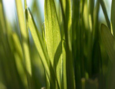 Lecznicze właściwości trawy pszenicznej, o których nie słyszałeś