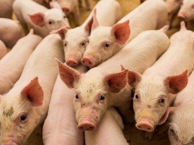 Minister podjął decyzję. Wstrzymano import wieprzowiny ze stref z...