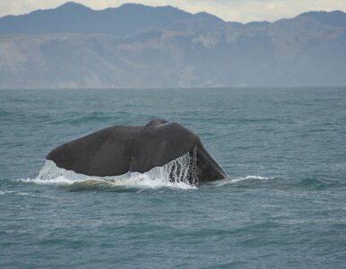 Wieloryb w Bałtyku. Pierwszy raz od 2007 roku