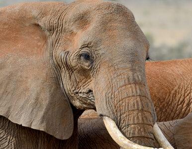 Tragiczny wypadek w zoo. Słoń cisnął kamieniem w 7-latkę