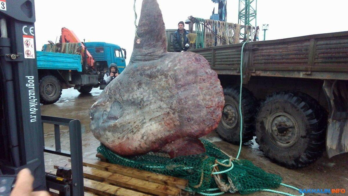 Gigantyczny samogłów złowiony koło wyspy Iturup