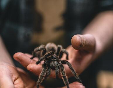 Jad gigantycznego pająka przyniesie ukojenie w zespole jelita drażliwego