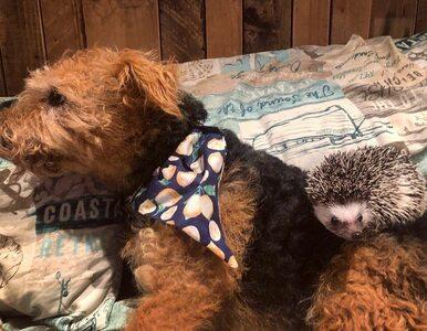 Jak pies z jeżem? Niezwykła przyjaźń połączyła dwa zwierzęta