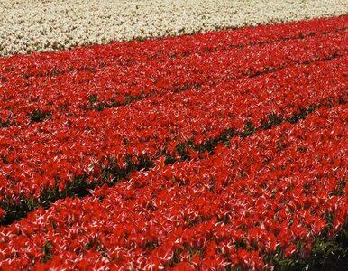 Więdnący tulipan ? Holandia może stracić najwyższy rating AAA