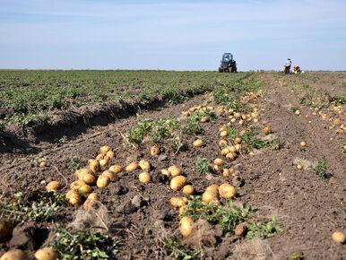 Tragiczny wypadek przy zbiorze ziemniaków. Maszyna zerwała 26-latce...
