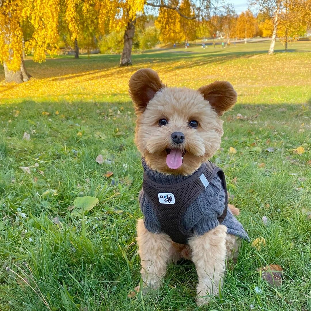 Oliver - pies, który wygląda jak pluszowy miś