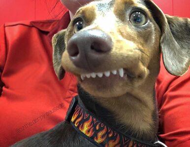 Ten pies ciągle się uśmiecha. Krzywy zgryz dodaje mu uroku