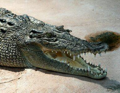 Zastrzelili dwa krokodyle. Sprawdzą, czy nie pożarły dziecka
